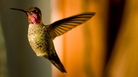 16 Hummingbird_e5914